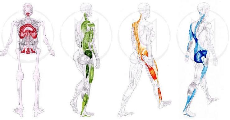 chaînes musculaires profondes et superficielles